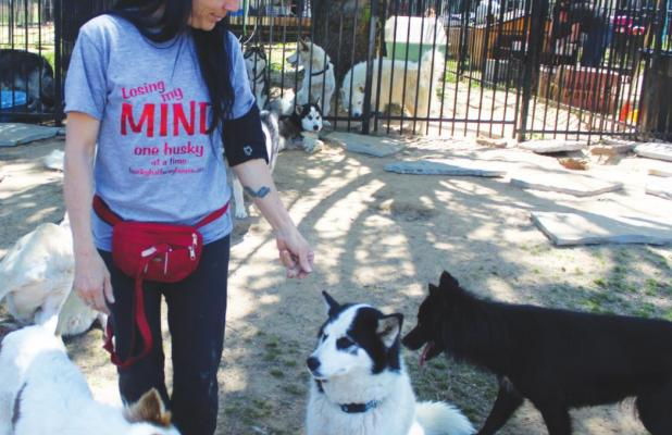 Halfway House finds homes for huskies